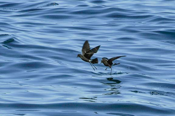 Pleasant Bay Community Boating - Wilson's Storm Petrel - 508-945